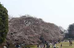 小金井公園開花情報