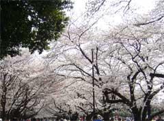 所沢航空記念公園花見