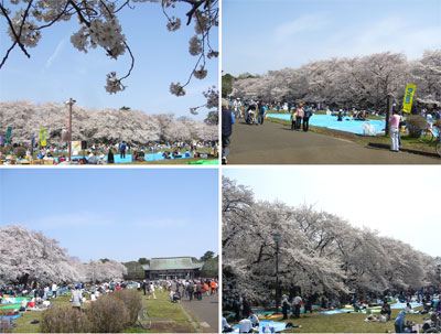 小金井公園お花見